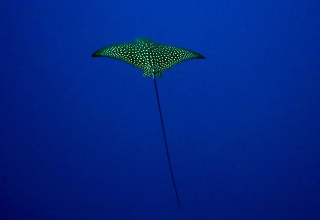 A small Eagle Ray hangs in the blue at NSAT Passage, taken by Bailey