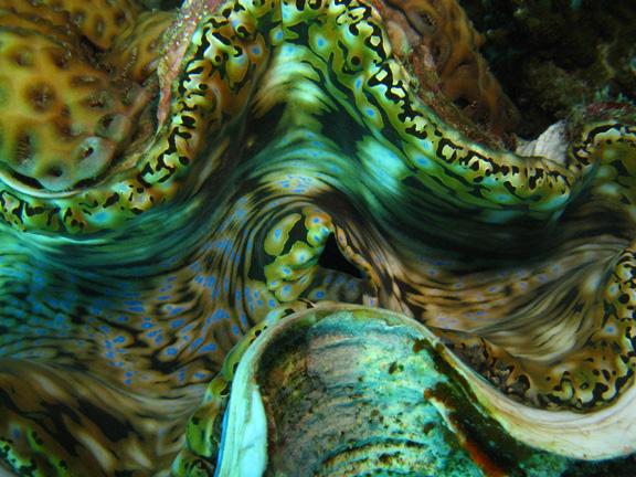 Close up of a large clam: taken by John