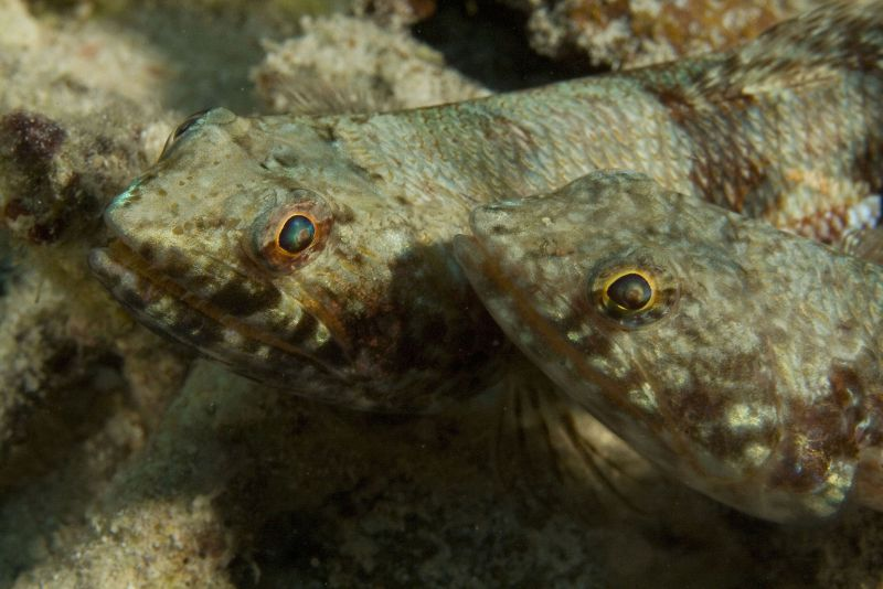 Lizzardfish Buddies by Janice