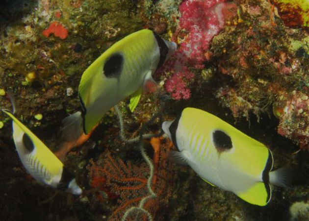 Butterfly fish busy feeding in the coral by Jeff
