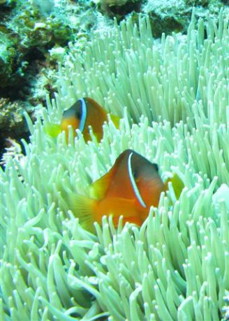 Fiji anemone fish endemic to Fiji by Jeff