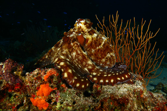 Beautiful Octopus shot taken by David at NSAT