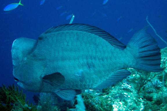 Huge Bumphead Parrot Fish in Namena - taken By Stacy