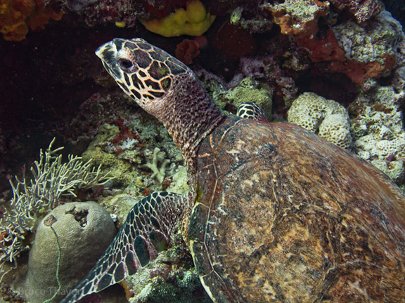 Turtle at Mount Mutiny - taken by Bruce