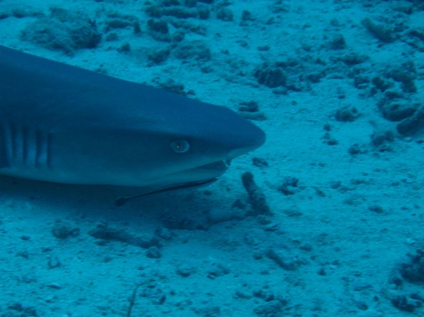 Relaxed White Tip Reef Shark: taken by Sarah