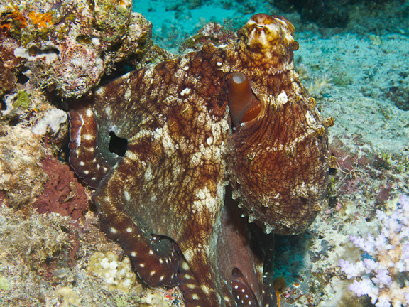 Octopus in Namena - taken by Bruce