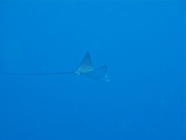 Eagle Ray swoops in from the blue: taken by Sarah