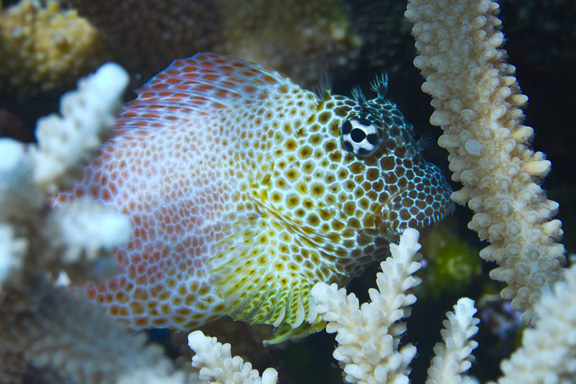 Leopard Blenny hiding out - taken by Mark