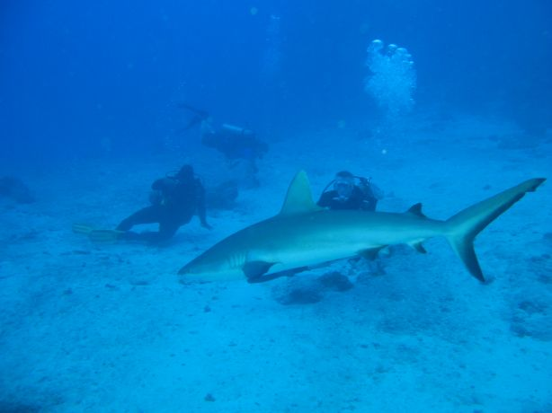 Grey reef shark cruising at NSAT: taken by Kevin