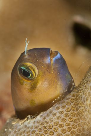 Blenny poses for Steve