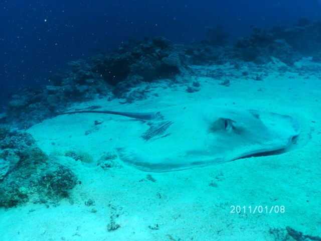 Rare Tahitian stingray - by Joe T