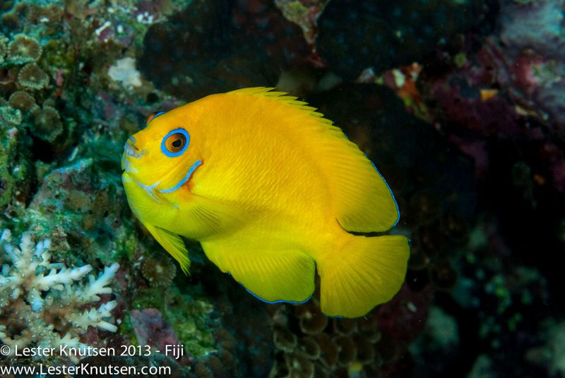 Lemon Peel Angelfish by Lester Knutsen. www.lesterknutsen.com