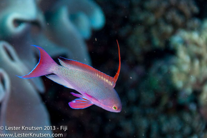 Scalefin Anthias (Male) by Lester Knutsen. www.lesterknutsen.com