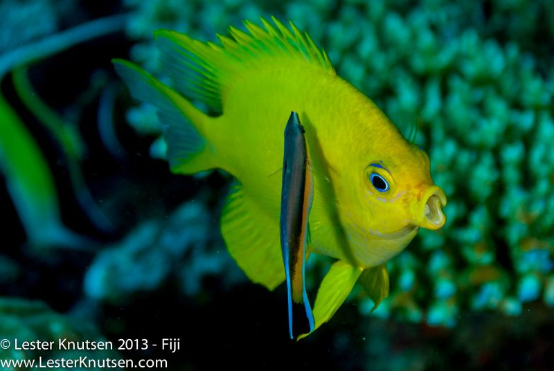 Golden Damsel and Bluetreak Cleaner Wrasse by Lester Knutsen. www.lesterknutsen.com