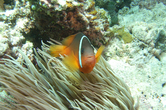 Anemone Fish posing for Ray
