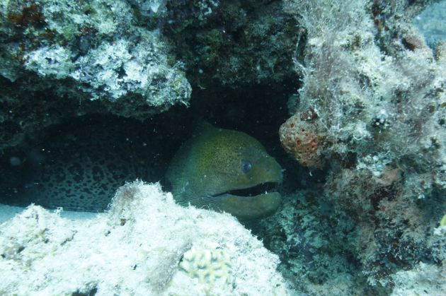 Giant Moray poking it's head out from the reef, taken by Fred