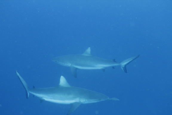 Patrick gets up close with a couple of curious Grey Reef Sharks