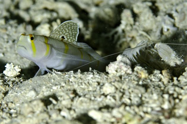 Randals Salifin Goby by Jim