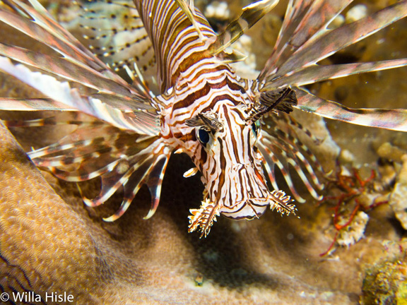 Lion Fish hunting - taken by Wila