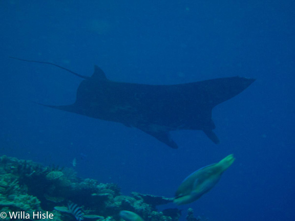 Manta cruising in Wakaya - taken by Wila