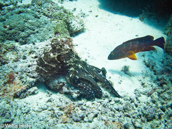 Grouper looking for scraps from the Octopus's meal - taken by Wila