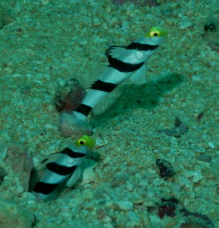 Yellow Nosed Gobies pose for the camera.