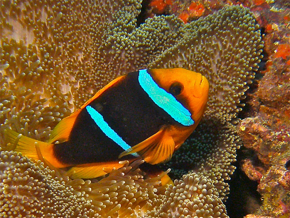 Clarks Clown Fish by Karen D.