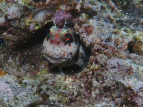 Freckle Faced blenny at Kansas - taken by Mo