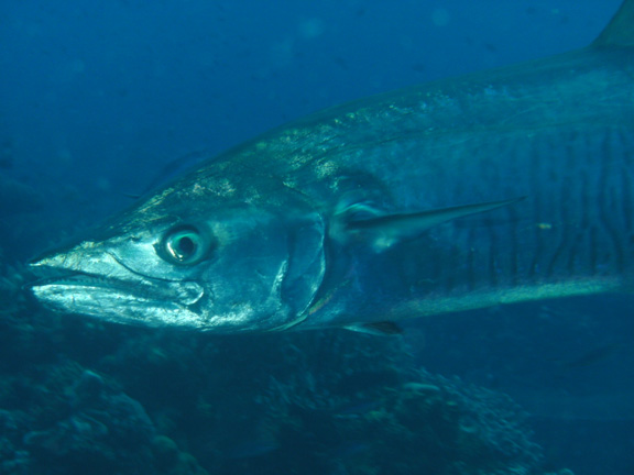Mo gets up close with a Wahoo