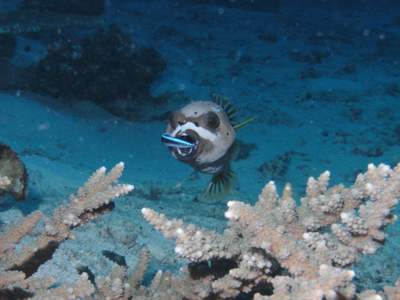 Masked puffer at a cleaning station taken by Mo
