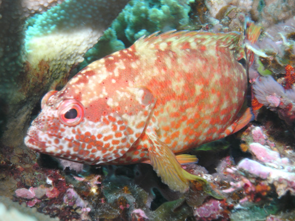 Coral Grouper - taken by Mo