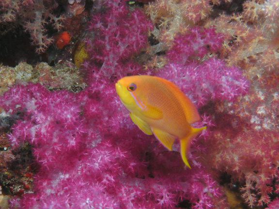 A lonely Anthias hovers for Mo