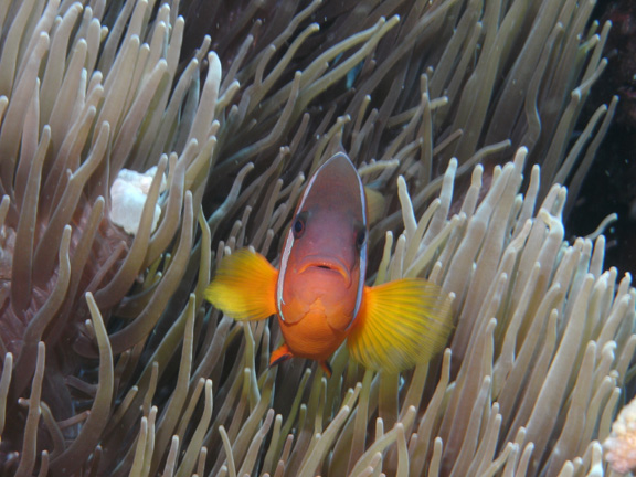 Clown Fish aren't scared of big Mo
