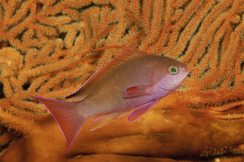 Anthias by Dave.  www.davidfleetham.com