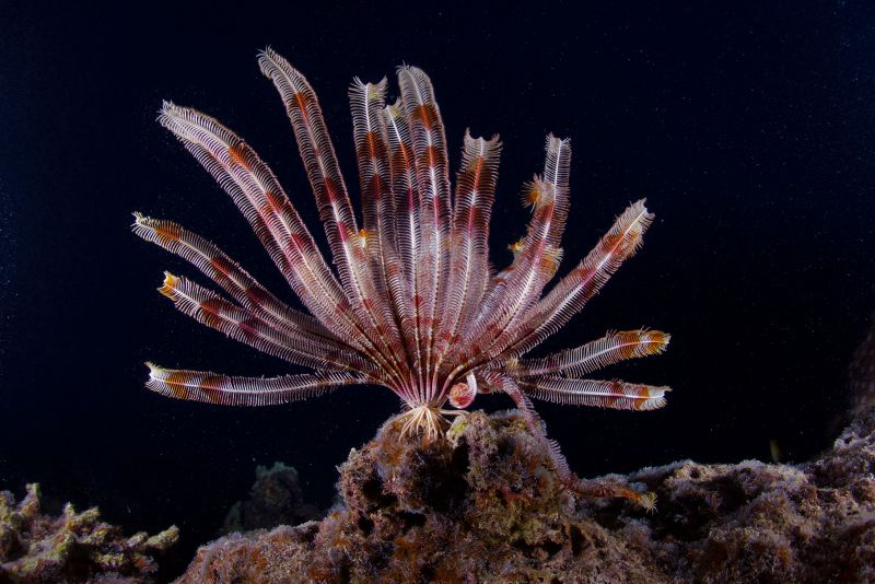 Feather Star by Rainbow Jim