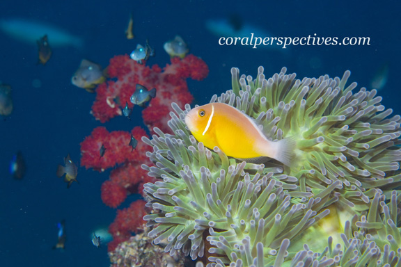 Anemone Fish poses for Connie W