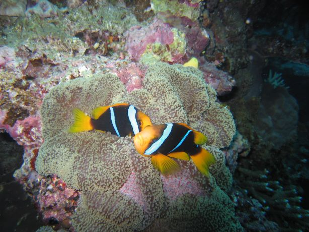 Clarks anemone fish: taken by Ulf