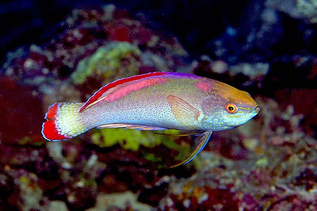 Red margined wrasse by Paul