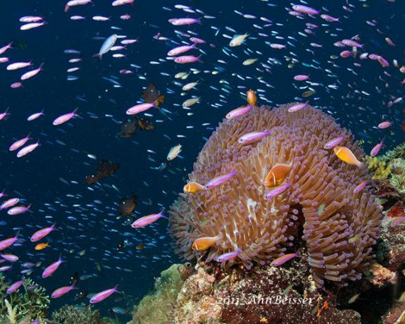 Beautiful anemone fish scene. By Ann
