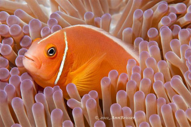 Pink anemone fish tucked away. By Ann