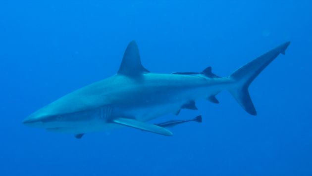 Chalk that up on the Great Fiji Shark Count! - by Artur