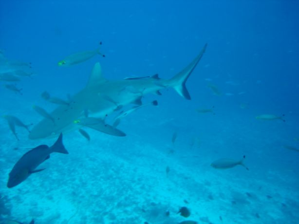 Grey reef shark & entourage - by Aurea