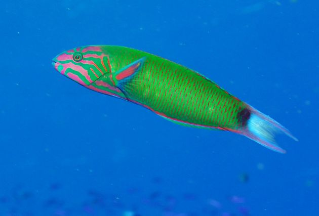 Fast moving Wrasse is tough to shoot - taken by Bruce S.