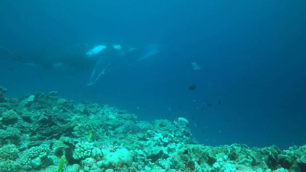 Still from video of whales during scuba dive - by Chris
