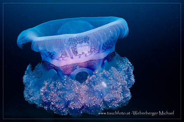 Jelly in the blue - taken by Michael