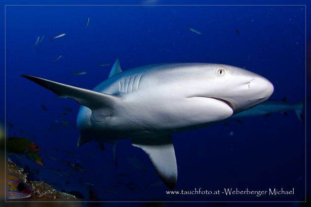 Action Stations - great dive in Nigali passage. Michael W. gets up close with a curious Grey Reef Shark.