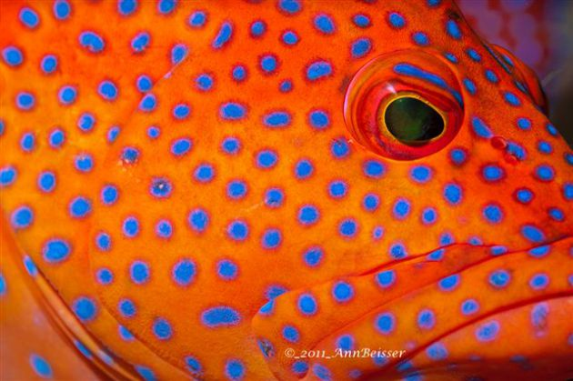 Nice macro shot of a Coral Grouper. By Ann