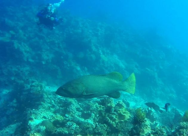Normall shy giant grouper greets our guests - by Daniel
