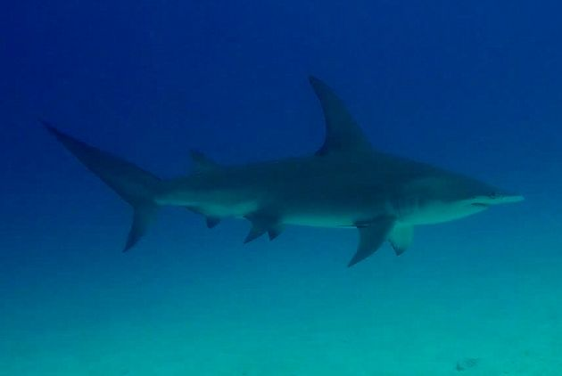 The real deal: rare great hammerhead at Mushrooms II - by Daniel
