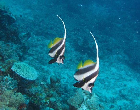 The bannerfish go marching - by David